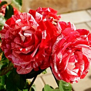 Роза Тигровая фантазия