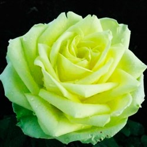 Роза Юмба