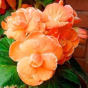 Бегония Пикоти абрикосовая (2)