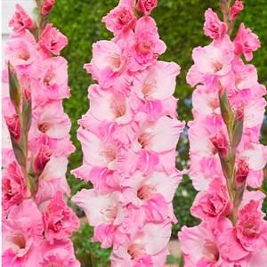 Гладиолус Крупноцветковый Адонис (7) - фото 73622