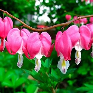Дицентра Великолепная розовая - фото 73643