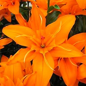 Лилия Азиатская Регент Парк (5) - фото 73663