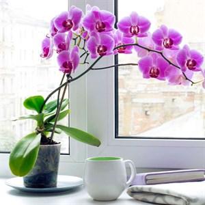 Орхидея Фаленопсис 12/55