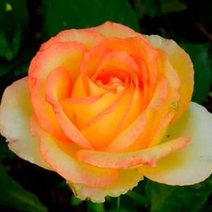 Роза Амбианс