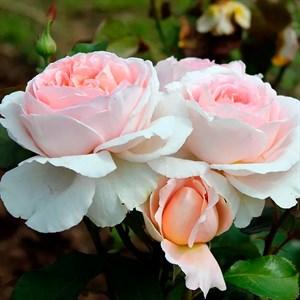 Роза Андре ле Нотре - фото 74361