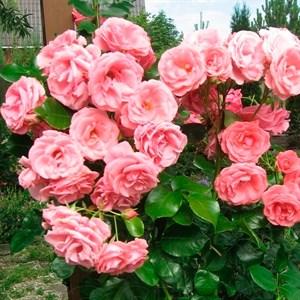 Роза Лавиния - фото 74362
