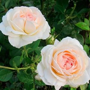 Роза Монжардин - фото 74364