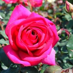 Роза Пароле - фото 74384