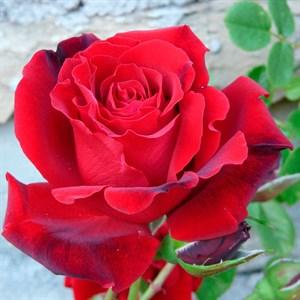 Роза Месье Дельбар - фото 74390