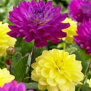 Георгина Бордюрная желтая и фиолетовая (2)