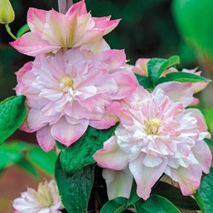 Клематис крупноцветковый Инносент Блаш