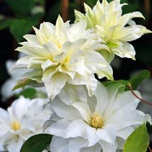 Клематис крупноцветковый Юкиокоши