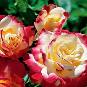 Роза чайно-гибридная, v7