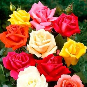 Роза чайно-гибридная, v2