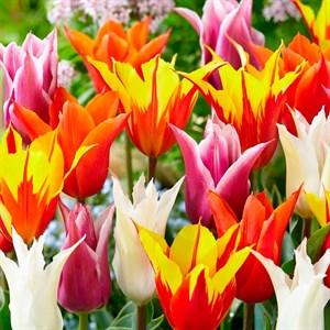 Тюльпан Лилиецветный микс(10)