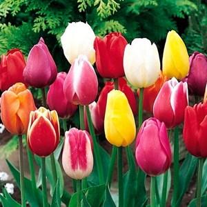 Тюльпан Триумф микс (10)