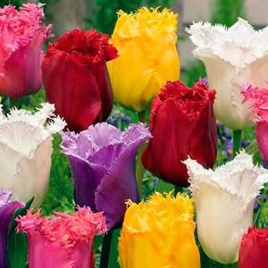 Тюльпан бахромчатый микс (10)