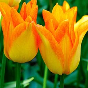 Тюльпан Мунблаш (5)