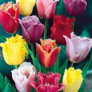 Тюльпан бахромчатый микс 03(10)