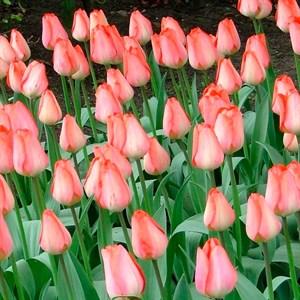 Тюльпан Биг Чиф (3)