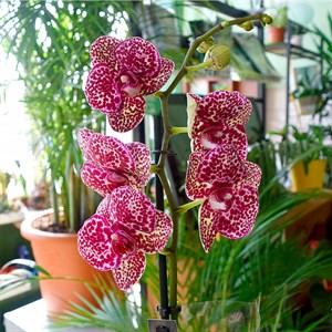Орхидея Фаленопсис 12/60