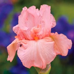 Ирис бородатый розовый