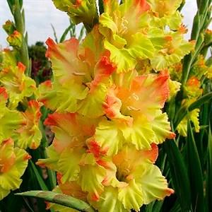 Гладиолус Крупноцветковый Нева (7)