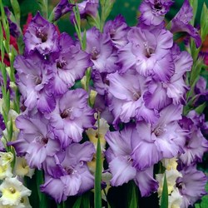Гладиолус Крупноцветковый Одесса (7)