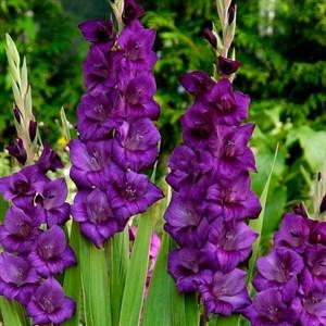 Гладиолус Крупноцветковый Пёрпл Флора (10)