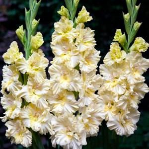 Гладиолус Крупноцветковый Распутин (10)