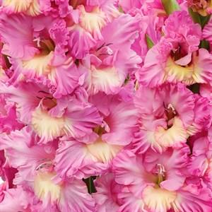Гладиолус Крупноцветковый Садко (7)