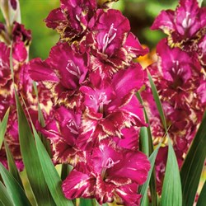 Гладиолус Крупноцветковый Серкус Клаб (7)