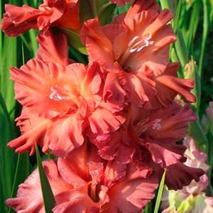 Гладиолус Крупноцветковый Сызрань (7)