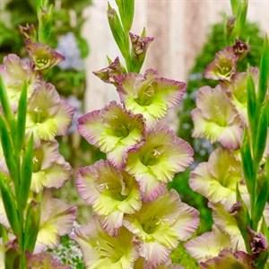 Гладиолус Крупноцветковый Мунлайт Шейдоу (7)