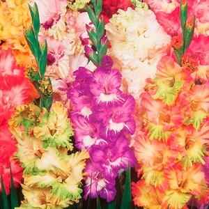 Гладиолус Крупноцветковый Рашен Перрот (10)