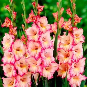 Гладиолус Крупноцветковый Присцилла (10)