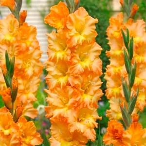 Гладиолус Крупноцветковый Пенза (7)