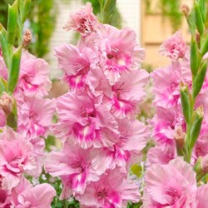Гладиолус Крупноцветковый Кызыл (7)