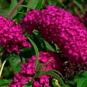Буддлея пурпурная