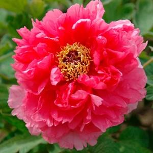 Пион Древовидный Очаровательная весна