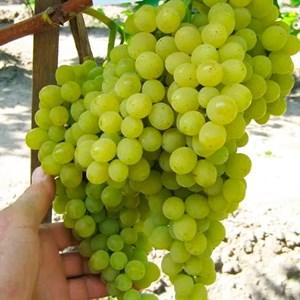 Виноград Прим