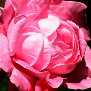 Роза Романтика Розовая