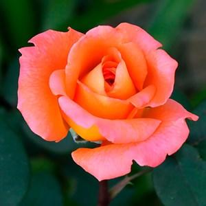 Роза Персиковый Амбассадор