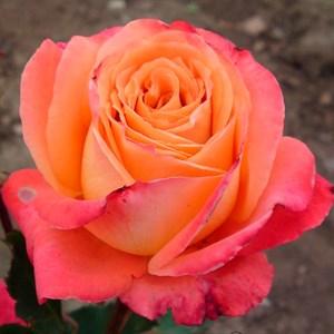 Роза Экзотик