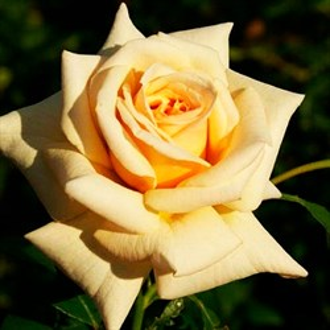 Роза Карамель