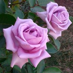 Роза Инголетта