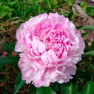 Пион травянистый Розовая Лазурь