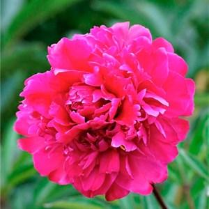 Пион травянистый Рубиновый Свет
