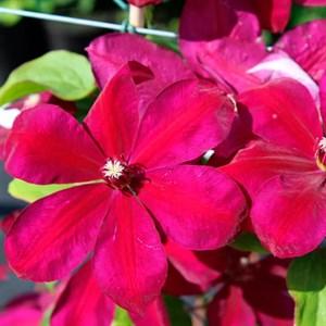 Клематис крупноцветковый Вестерплатте