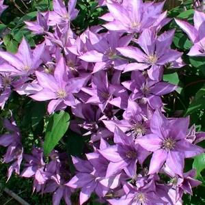 Клематис крупноцветковый Дороти Валтон